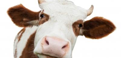 cow_look